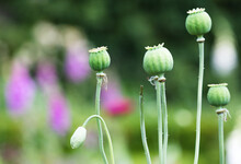 Poppy Heads In The Borders At Rousham Gardens