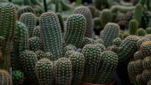 Echinopsis Cactus, Other Names Include Hedgehog, Sea-urchin Or Easter Lily Cactus.