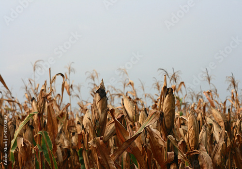 Fotografia, Obraz Field of dried corn stalks with corn on a cloudy sky