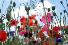 Variety Of Wild Flowers Including Poppies And Cornflowers, Growing On A Grass Verge Next To The Road In Eastcote, Hillingdon, In The London Suburbs, UK.