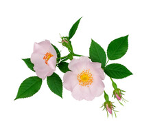 Branch Of Briar With Flowers Isolated On A White Background, Top View