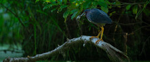 Green Heron Holding A Fish In Mouth