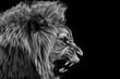Lion king isolated on black , Portrait Wildlife animal single