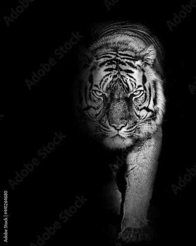Foto Tiger furious , animal isolated , wildlife hunter power