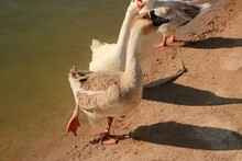 White Goose In The Water