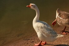 Greylag Goose In The Water