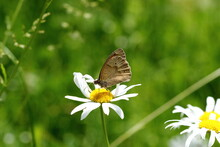 A Meadow Brown Butterfly On A Large Daisy