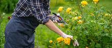 A Woman Is Involved In Gardening And Farming, A Gardener In An Apron And A Plaid Shirt With A Pruner Cuts A Branch Of A Lush Bush With Yellow Roses In His Garden On A Sunny Summer Day.