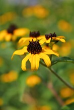 Black Eyed Susan Daisy Wildflower Growing In The Sunny Meadow.