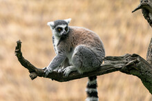 The Ring-tailed Lemur (Lemur Catta) Is A Large Strepsirrhine Primate And The Most Recognized Lemur Due To Its Long, Black And White Ringed Tail. It Belongs To Lemuridae, One Of Five Lemur Families.