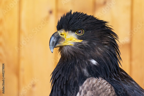 Photo The golden eagle (Aquila chrysaetos) is a bird of prey living in the Northern Hemisphere