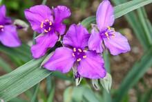 Purple Spiderwort Flowers In The Garden