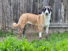 Puppy Anatolian Shepherd Dog - Red Fawn With Dutch Markings And Muddy Nose And Paws