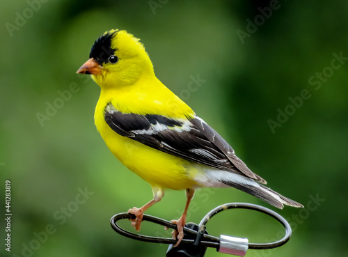 Fotografia goldfinch on a branch