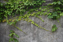Ivy Leaves And Young Berries. Vitaceae Deciduous Vine.