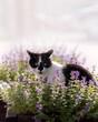 Słodki kotek czarno biały w otoczeniu kocimiętki i ciepłym popołudniowym słońcu.
