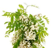 White Flower Of Acacia.