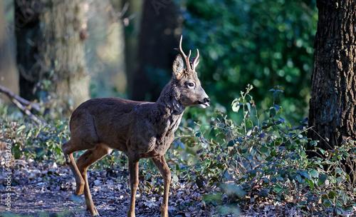 Obraz na plátně Male roe deer in the woods