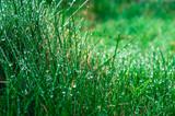 zielona trawa pokryta rosą
