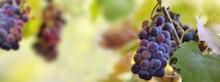 Grape Growing In Foliage In Vineyard