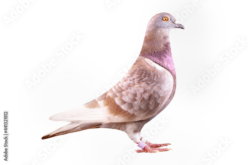 Fotografia red-checker homing pigeon isolated white background