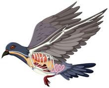 Anatomy Of Pigeon Bird Isolated On White Background