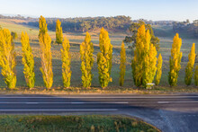 Aerial View A Line Of Golden Poplar Trees Along Side A Country Road