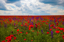Field Of Poppies. Red Poppies Bloom In A Wild Field In Sunny Weather. Beautiful Field Red Poppies Among Green Grass With Selective Focus.