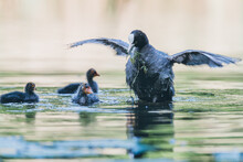 Mother Coot Feeds Her Young In The Water, Dutch City Park Wildlife
