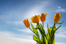 Bouquet Of Tulip Spring Flowers On Sunny Blue Sky