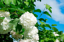 White Flowers Of Snowball Viburnum Shrub Against The Blue Sky On A Sunny Day