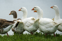 Closeup Shot Of White And Brown Ducks Grouped Together In A Rural Green Field