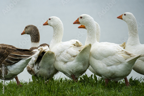 Fotografia Closeup shot of white and brown ducks grouped together in a rural green field