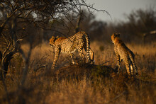 A Pair Of Cheetah Roaming The Grasslands During Sunset, Kruger National Park, South Africa