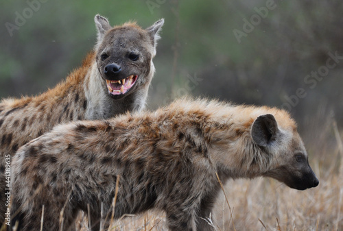 Tablou Canvas A mother spotted hyena and its young, Kruger National Park, South Africa