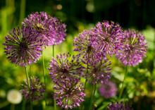 Flower, Purple, Nature, Plant, Garden, Allium, Flowers,