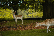 Two Young Deer Standing Together Nestled Under The Trees In Tatton Hall.