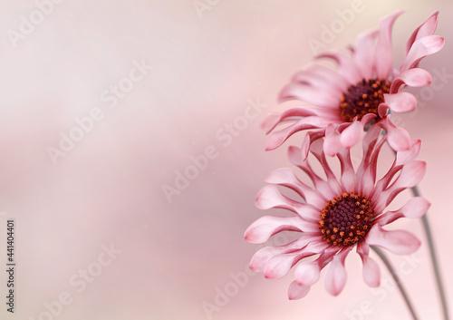Kwiaty Osteospermum -Afrykańska stokrotka. Wolna przestrzeń