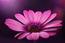 Kwiat Osteospermum -Afrykańska Stokrotka