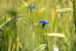 kwiat chabru na łące