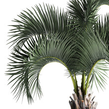 3D Illustration Of Palm Tree In A Rusty Pot Isolated On White Background