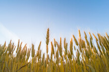 Looking Up At The Heads Of A Wheat Crop Against A Blue Sky