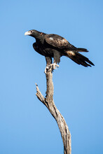 A Wedgetail Eagle Perched High On A Dead Tree Branch