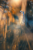 Ważka Łątka dzieweczka (Coenagrion puella)