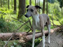 Hund Whippet Windhund Im Wald