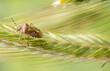 Borczyniec południowy (Carpocoris purpureipennis). Pluskwiak na kłosie żyta
