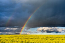 A Vivid Rainbow In Front Of A Dark Sky Over A Bright Yellow Canola Crop