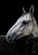 White Horse In Stable In Countryside