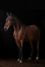 Brown Horse In Harness Standing In Dark Stable