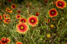 Cluster Of Texas Indian Blanket Wildflowers